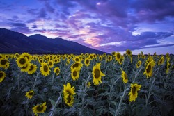 This is a photograph taken during sunset in a field of sunflowers in Kahului, Maui, Hawaii - USA. In the background, you can see the West Maui Mountains.