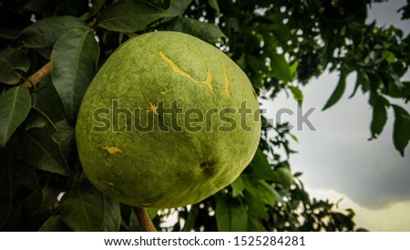 This is a pic of wood apple that is common in village