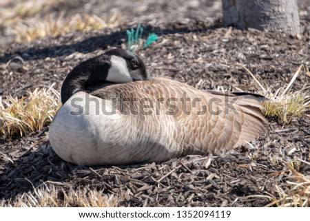 This is a picture of a sleeping or napping goose