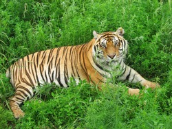 This is a picture of  a Tiger lying on grasses of a zoo.