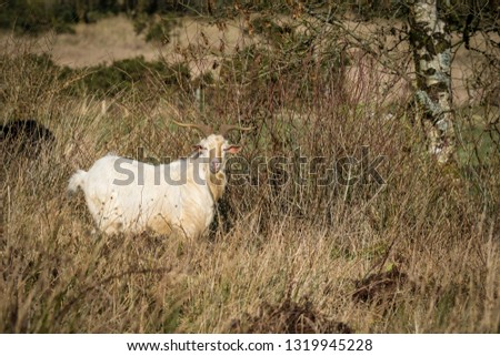 This is a picture of a white wild goat in mountains of Ireland