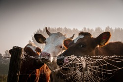 This is a Picture of 3 Dutch cows next to a fence. shot in the early morning light.