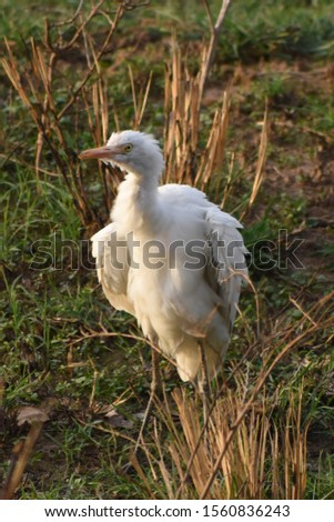this is a picture of white crane bird in india. at the time of golden hours, shades made the bird like an Angel