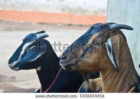this is a picture taken from my firm. picture of two Indian goat.
