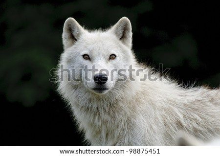 This is a portrait photograph of an Arctic Wolf