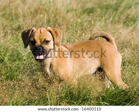 This is a Puggle Puppy Stands in the Grass looking for a playmate