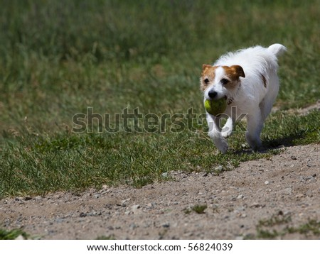 This is a Rat Terrier running with a ball in its mouth