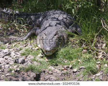 this is a salt water crocodile on the river bank