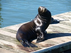 This is a sea lion.