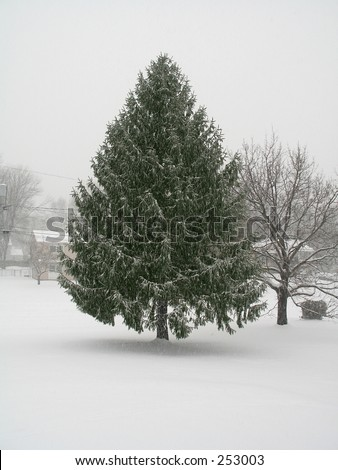 This is a shot of a large pine tree in the midst of a snow storm.