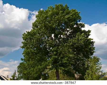 This is a shot of a tall tree against a rich blue sky.
