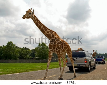 This is a shot of a very tall giraffe on the road at a animal safari.