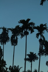 this is a silhouette photo of areca trees