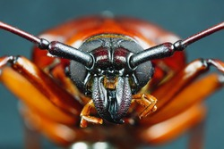 This is a titan beetle or beetle titanium or Longhorned Beetles taken photo from Thailand.