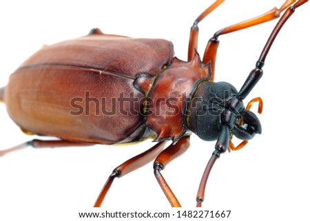 This is a titan beetle or beetle titanium or Longhorned Beetles taken photo from Thailand. #1482271667
