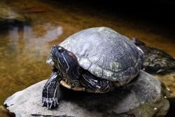 This is a turtle in the small pond. His carapace is so hard and strong.