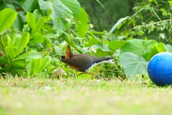 This is a White-breasted waterhen in Okinawa Japan