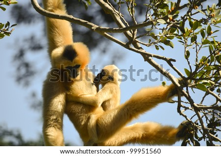 this is a white faced gibbon hanging from a tree with her young