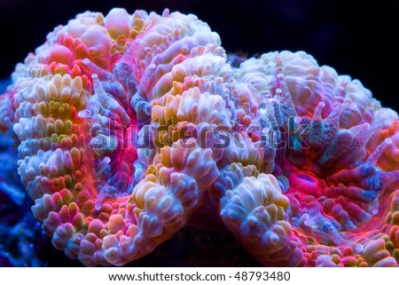 This is an Acanthastrea coral with multi colors set on a black background. - stock photo