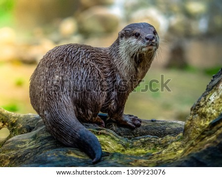 This is an Asian otter, they keep moving and taking this picture cost me horrors, but it's my favorite