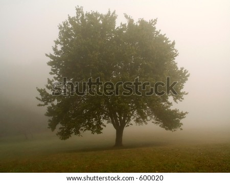 This is an early morning shot of a shapely tree in a thick fog,