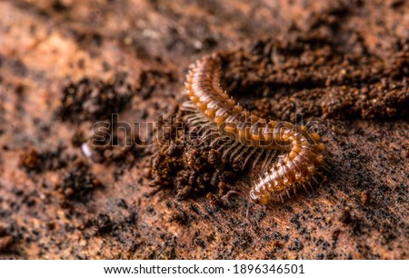 This is an image of a Flat-Backed MIllipede (Polydesmus angustus). It was found underneath some decaying wood in a damp environment in a woodede area. ストックフォト ©