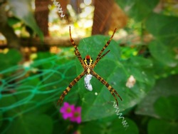 This is argiope anasuja spider.Female is about 8-12 mm long and male is 3.5-4.5 mm. After Cephalothorax greyish brown with hairs. Sternum heart shaped with hairy pubescent white patch.