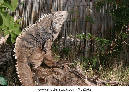 This is Bonzo. He is a Rare Cuban Rock Iguana & Blue Cayman Lizard sitting outside eating flowers