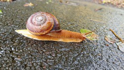 This is brown great snail and Molluse.