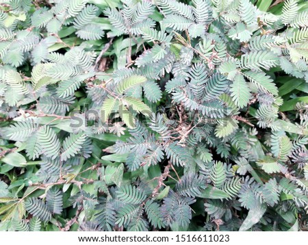 This is called shy plant,mimosa plant,sensitive plant #1516611023