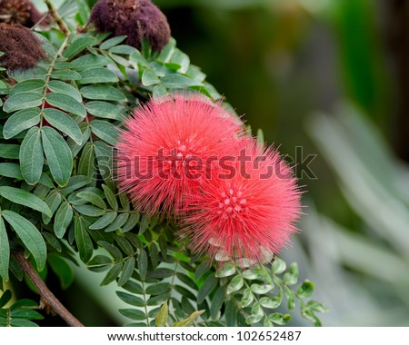 This is Calliandra haematocephala and its flowers. The furry flower looks like a pink sea urchin hanging on the branch.