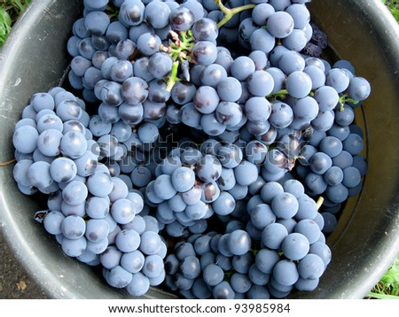 This is  harvest of  grapes in round capacity