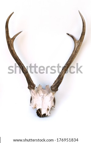 This Is Horns Of Deer Very Well Kept On Isolate.
