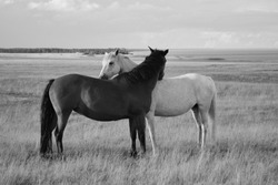 This is how horses shows affection. A black and White portrait of two horses in a field in the South of Sweden
