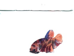 This is one multicolour betta fish