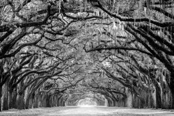 This is one of the more amazing avenue of Live Oak tress I have ever been to. The path of Live Oak trees are draped with Spanish moss which adds so much more drama to this location.