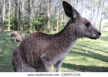 this is picture of kangaroo in wild