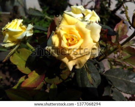 This is picture of yellow coloured rose flowers shining during a sunny day