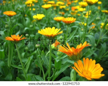 This is summer  blossoming of  calendula (marigold) flowers
