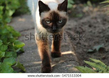 This is the best photo of this Siamese cat, coming to me whlie I was taking a pictura of her.