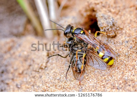This is the field digger wasp, Mellinus arvensis with prey in our rear garden, September. The wasp hunts for a range of flies for their larval brood cells. Digger wasps nest in open sandy areas.