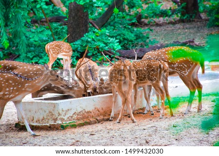 this is the forest pic, and it is original nature pic. the deers drinking water in the jungle.