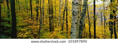 This is the Greylock State Reservation. It shows birch and maple trees with autumn color.