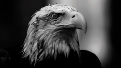 This is the head of a bald eagle and this photo was taken in Cabárceno, Cantabria, Spain.