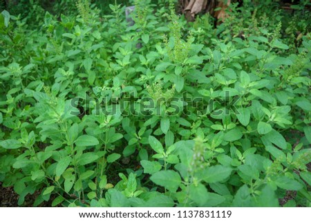 This is the holy basil . Thai holy basil for cooking holy basil are fragrant and spicy. The flowers of the holy basil are purple 13/07/2018 Location Chonburi Thailand #1137831119