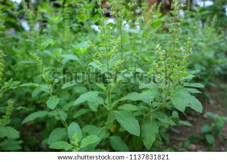 This is the holy basil . Thai holy basil for cooking holy basil are fragrant and spicy. The flowers of the holy basil are purple 13/07/2018 Location Chonburi Thailand #1137831821