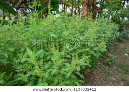 This is the holy basil . Thai holy basil for cooking holy basil are fragrant and spicy. The flowers of the holy basil are purple 13/07/2018 Location Chonburi Thailand #1137832412