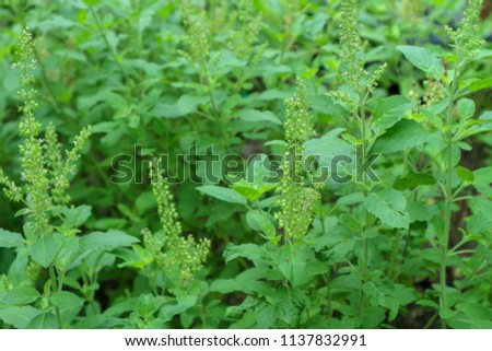 This is the holy basil . Thai holy basil for cooking holy basil are fragrant and spicy. The flowers of the holy basil are purple 13/07/2018 Location Chonburi Thailand #1137832991
