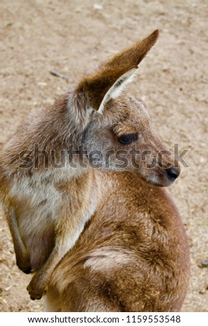 this is the picture of kangaroo clicked in a forest of Australian city.