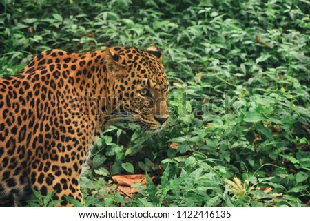 This is the picture of Leopard